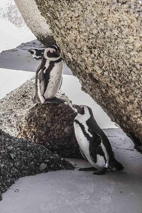 Pingouins a Boulder Beach, Afrique du Sud