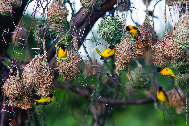 Ref - Subject: African Village Weaver, Ploceus cucullatusPhotographer: ©Stephen Robinson. All rights reserved.Scientific name: Ploceus cucullatusPicture info: Model release ref: Keywords: Location: Website: www.spirit-of-the-land.com, www.wildfotoafrica.comContact: wildfoto@wildfotoafrica.com