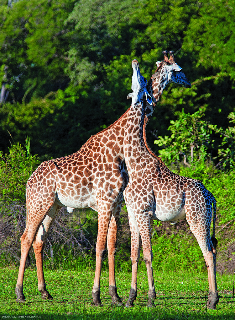 Thornicroft's Giraffe, Giraffa camelopardalis thornicroftii, Luangwa Valley ZambiaPhotographer: ©Stephen Robinson. All rights reserved.Scientific name: Giraffa camelopardalis thornicroftiiPicture info: Model release ref: Keywords: Location: Luangwa Valley ZambiaWebsite: www.spirit-of-the-land.com, www.wildfotoafrica.comContact: wildfoto@wildfotoafrica.com