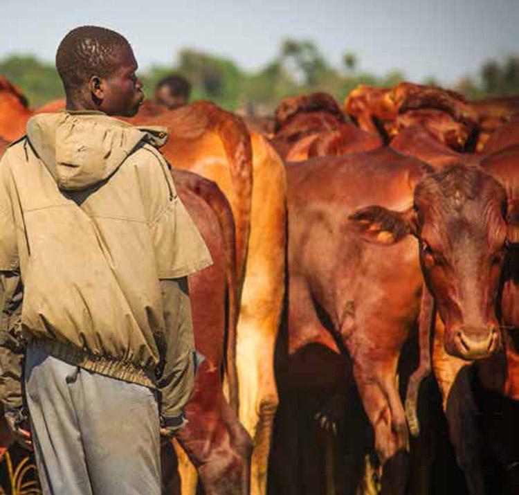 Cattle-africa-grelka
