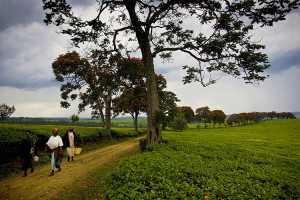 Kericho tea plantation in Kenya
