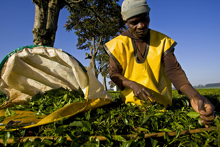 Kericho Estate, a tea plantation in Kenya