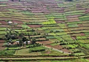Green tea fields in Uganda