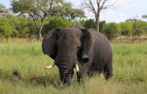 Le cour sauvage du Botswana 1