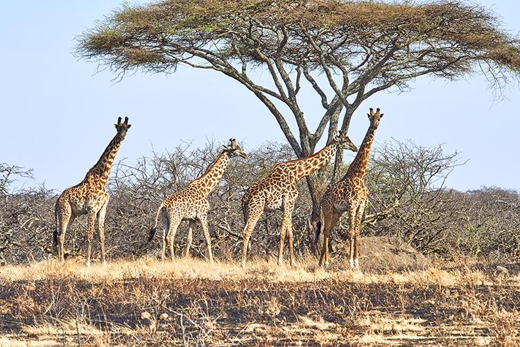 Safari to Mwiba Lodge