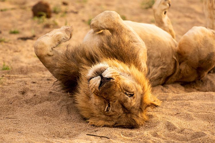 Lion mâle se prélassant au soleil après un repas copieux